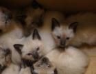 暹罗猫宝宝弟弟妹妹都有