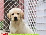 精品拉布拉多全省养狗基地包健康签协议送用品
