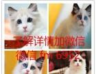 包邮 宠物猫咪活体 英国短毛猫英短蓝白蓝猫