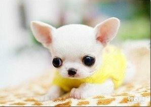 我家大狗生的一窝纯种吉娃娃宝宝300一条狗狗非常可爱