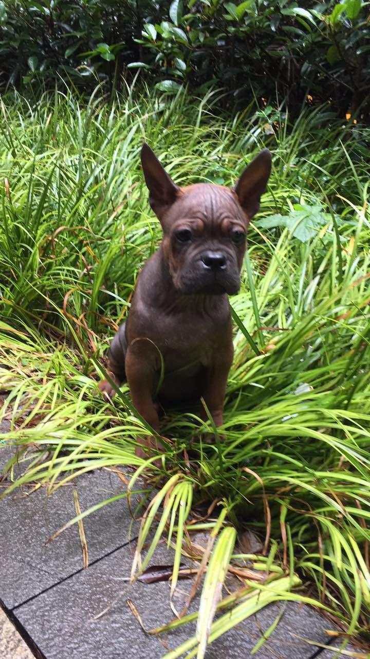 川东猎犬中国最古老的猎犬 搜山上山 打野一流 忠诚**川东
