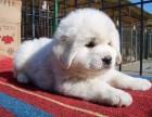 东莞本地狗场直销 纯种大白熊幼犬 包健康包三个月签协议