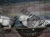 供应山东万豪观赏鸽供应新疆观赏鸽养殖场