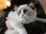 布偶猫找家长 TICA CFA注册猫舍