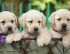 精品拉布拉多幼犬出售多种颜色供选择价格可商量