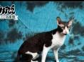 出售赛级纯色虎斑缅因猫,柯尼斯