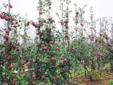 揭阳秦脆苹果苗 爱妃苹果 苹果苗种植基地