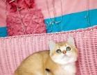 猫舍繁殖精品高品质渐层热卖中欢迎选购!