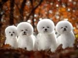 南京比熊犬 泰迪熊狗狗出售 包健康 包純種 簽訂協議
