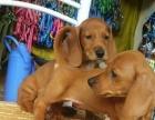 全国可托运 家养的超纯种腊肠犬宝宝低价出售