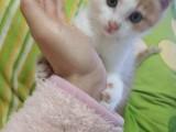 自家繁殖的小猫就剩这一只了