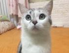 纯种绿眼美国短毛猫银虎斑加白标斑找新家