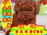 买狗狗就送用品 可签协议见狗父母 泰迪熊