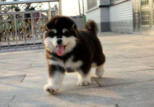 巨型阿拉斯加幼犬 现场实拍 疫苗齐全 可签购犬协议