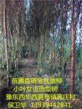 豫东花木基地低价直销金丝垂柳等绿化花木