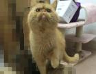 加菲猫有偿领养800