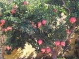 精品石榴树、山楂花木瓜树盆栽