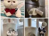 天津本店出售各种纯种蓝白 美短 布偶等猫咪