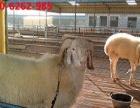 纯种种公羊出售