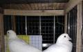元宝鸽价格 元宝鸽养殖场元宝鸽养殖技术肉鸽种鸽观赏鸽