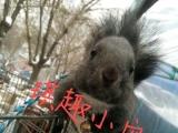 魔王松鼠批发零售