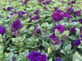 天资花卉基地