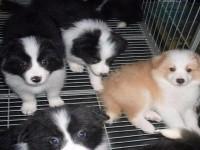 杭州边境牧羊犬一本地养殖狗场一直销各种世界名犬 常年售卖
