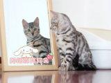 純種豹貓出售 疫苗做齊 終身質保簽協議