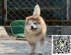 巨型阿拉斯加犬 阿拉斯加犬价格 阿拉斯加犬哪里卖
