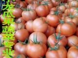 山东大红西红柿生产基地现已大量上市