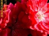 观赏桃花树苗紫叶碧桃优良品种
