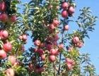蒙富苹果采摘农家乐