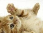 求宠物猫2只8888元