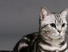 美国短毛猫2000元