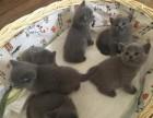 英短蓝猫 一只大胆好奇兼温柔猫咪 品质优秀疫苗齐全