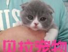 【贝拉宠物】全市最低加菲猫蓝猫暹罗猫金吉拉猫折耳猫