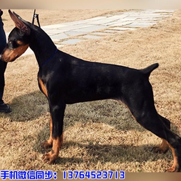 养殖基地出售忠犬八公秋田 猎犬杜宾 护卫犬罗威纳猛犬马犬幼犬