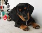 丽江哪里有卖腊肠犬的