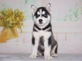 北京出售 哈士奇犬 保纯种 三针疫苗齐全 健康血统有保障