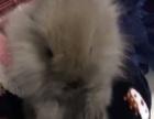 两只可爱宠物小兔子
