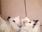 银狐犬 一公一母