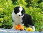 出售纯种高品质最聪明的边境牧羊犬幼犬 品质保证