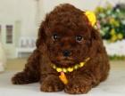 中国较大泰迪犬繁殖基地 百度一下唯缘犬舍