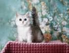 各种宠物猫,美短渐层蓝猫折耳,加菲都有,包健康