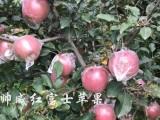 陕西红富士苹果,脆甜多汁新鲜帅威红富士苹果批发热销