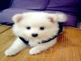 银狐犬钱 里可以买到银狐幼犬