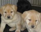支持支付宝拉布拉多宠物选货狗狗 可上门选购