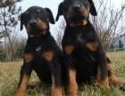 长沙哪有杜宾犬卖 长沙杜宾犬价格 长沙杜宾犬多少钱