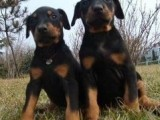 昆明哪有杜宾犬卖 昆明杜宾犬价格 昆明杜宾犬多少钱