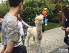 镇江沙滩文化节租羊驼展示,上海启欣展览展示有限公司